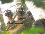 Brumback's owl monkey (mono nocturno; Aotus brumbacki)