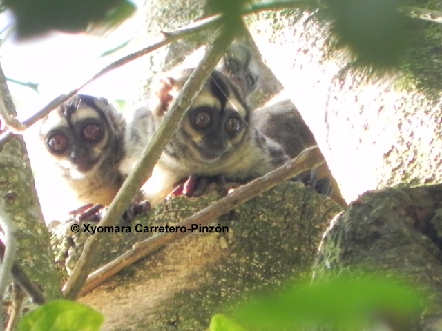Aotus brumbacki (Colombian Llanos)Family