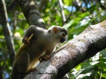 Colombian squirrel monkeys (titi o fraile; Saimiri cassiquiarensis albigena)