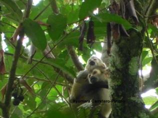 Saimiri cassiquiarensis albigena (Colombian Llanos)