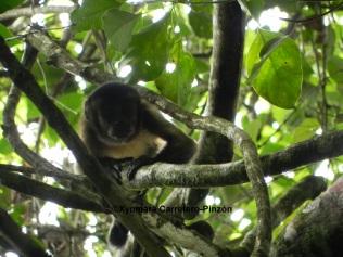 Sapajus apella (Colombian Llanos)