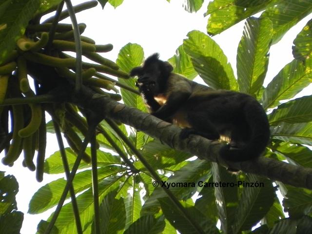 Sapajus apella (Colombian Llanos)Female